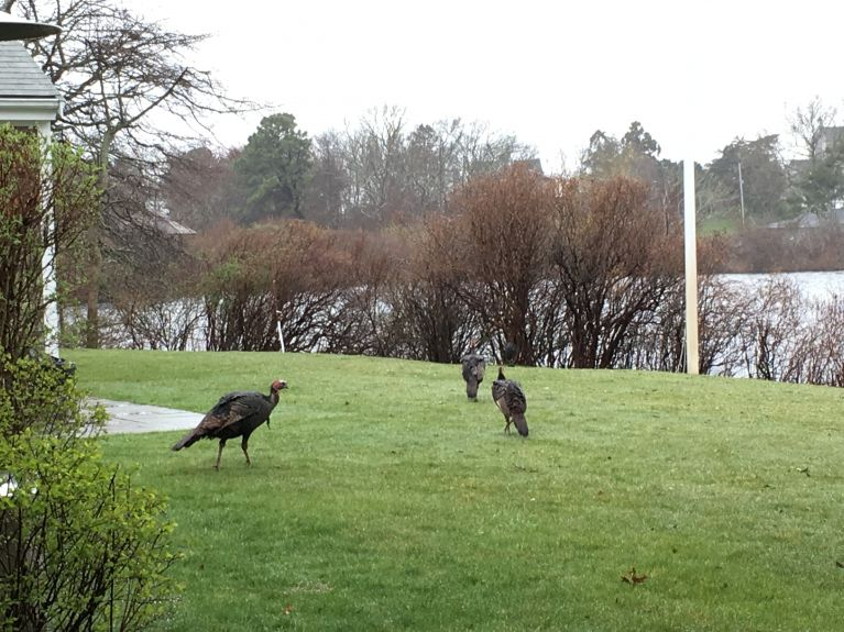 Turkeys strutting around the yard